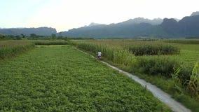 El par aéreo monta la vespa a lo largo de campos de maíz en tierra rural almacen de metraje de vídeo