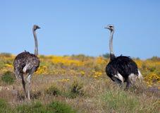 El par de avestruz gigante salvaje camina en los campos amarillos florecientes cerca de Cape Town Viñedo famoso de Kanonkop cerca imagen de archivo
