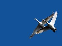 El par de cisnes vuela en cielo azul Fotos de archivo libres de regalías