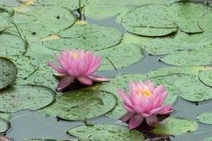 El par de lirios de agua rosados con lluvia cae Fotos de archivo