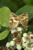 El par de mariposas del portero, tithonus de Pyronia, en la zarza florece fotos de archivo