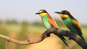 El par de pájaro coloreado vuela y se sienta en una rama metrajes