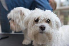 El par de perros blancos se prepara Imagen de archivo libre de regalías