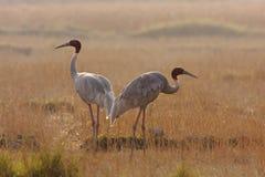 El par del sarus cranes la situación en la hierba en Lumbini, Terai, Nepal Imagen de archivo libre de regalías
