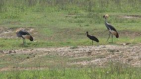 El par Gris-Coronar Cranes el forraje en el prado almacen de video