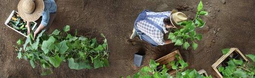 El par que trabaja en huerto, recoge un pepino en wodde fotografía de archivo libre de regalías