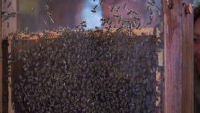 El par turístico es adelanto en las abejas en una granja de las abejas metrajes