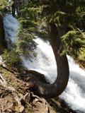 El paraguas cae - árbol de cicuta torcido - Oregon septentrional Imagen de archivo