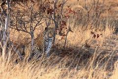 El pardus africano del pardus del Panthera del leopardo en el arbusto Imagenes de archivo