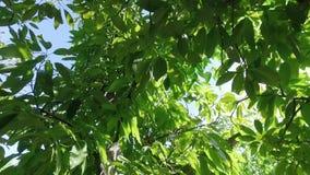 El parecer ascendente y filtrado a la derecha a través de las hojas suculentas del árbol en la brisa con el sol a través de las h almacen de metraje de vídeo