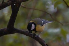 El paro amarillo se sienta en una rama contra un fondo del primer verde del Paridae del bosque imagen de archivo libre de regalías