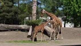 El parque zoológico, el bebé y la madre de jirafas colocan el canal cercano y mastican la comida verde metrajes