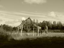 El parque zoológico de la jirafa comparte la comida junta Foto de archivo