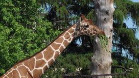 El parque zoológico, jirafas come el heno en jardín zoológico en el aire abierto almacen de metraje de vídeo