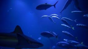El parque zoológico, los pescados, los tiburones y las pastinacas marinos nadan en acuario grande azul metrajes