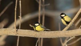 El Parus de los paros carboneros de los pájaros principal está en una rama cubierta con los cristales de la escarcha en el frío p metrajes