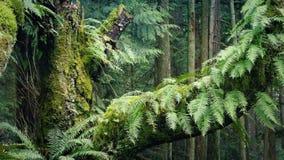 El pasar árbol del viejo crecimiento en el bosque almacen de video
