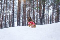 El paseo con el perro a través del bosque del invierno acaricia el juego fotos de archivo