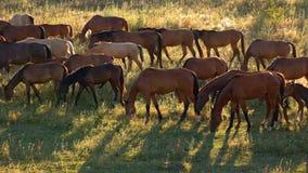 El paseo de los caballos y come la hierba fotos de archivo libres de regalías