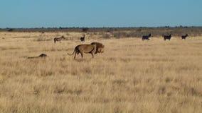 El paseo masculino del bostezo del león sienta el fondo Etosha Namiba África de las cebras metrajes