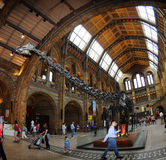 El pasillo principal del museo - esqueleto del dinosaurio adentro Fotos de archivo