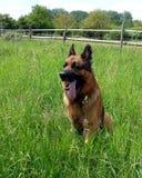 El pastor alemán Dog toma una rotura en el prado Fotos de archivo