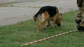 El pastor alem?n ejecuta comandos en el campeonato del colmillo limpia el perro trae el palillo al polic?a almacen de video