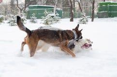 El pastor australiano Juego de los perros con uno a imagenes de archivo