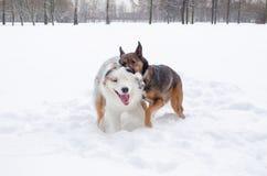 El pastor australiano Juego de los perros con uno a imágenes de archivo libres de regalías