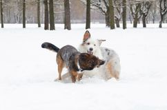 El pastor australiano Juego de los perros con uno a imagen de archivo libre de regalías