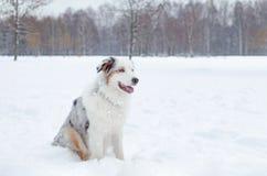 El pastor australiano Paseos enérgicos jovenes del perro imágenes de archivo libres de regalías