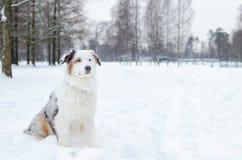 El pastor australiano Paseos enérgicos jovenes del perro imagenes de archivo