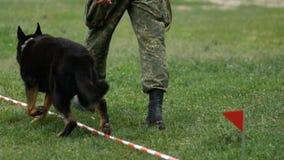 El pastor belga ejecuta comandos en el campeonato del colmillo limpia el perro trae el palillo al polic?a almacen de metraje de vídeo