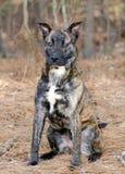 El pastor holandés berrendo de Pitbull Terrier mezcló el perro de la raza Imagenes de archivo