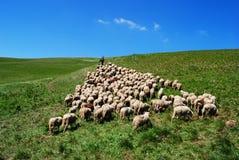 El pastor lleva sus ovejas Imágenes de archivo libres de regalías