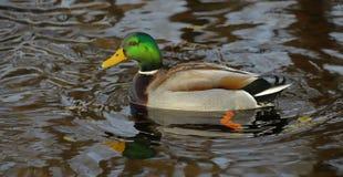El pato apuesto del pato silvestre foto de archivo libre de regalías