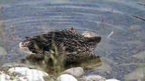 El pato aumenta su pata izquierda y la rasguña con su pico almacen de video