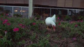 El pato blanco camina alrededor de la cama de flor y una niña da su vídeo de la cantidad de la acción del ramo almacen de video