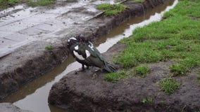 El pato blanco y negro oculta el pico debajo del ala en tiempo lluvioso metrajes