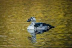 El pato bot?n-cargado en cuenta, o humedal tropical del peine del primer africano del pato del parque nacional del keoladeo, bhar fotografía de archivo