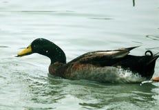 El pato cogió un pescado Imagen de archivo libre de regalías