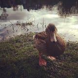 El pato con una actitud Fotos de archivo libres de regalías
