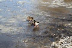 El pato de la familia con Drake va en el hielo claro en la charca en primavera temprana imagen de archivo