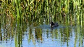 El pato de la focha americana se zambulle para el fortalecedor de plantas, 4K metrajes