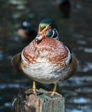 El pato de mandarín Imagen de archivo