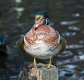 El pato de mandarín Fotografía de archivo libre de regalías