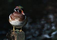 El pato de mandarín Fotos de archivo libres de regalías