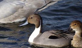 El pato de Pinttail y su compañero nadan en el mar imágenes de archivo libres de regalías