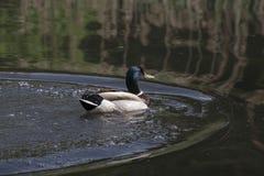 El pato del pato silvestre Imagen de archivo libre de regalías