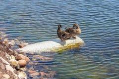 El pato del pato silvestre que sorprende nada la agua costera con agua azul bajo paisaje de la luz del sol foto de archivo